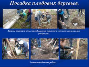 Посадка плодовых деревьев. Заранее выкопали ямы, закладывается перегной и нем