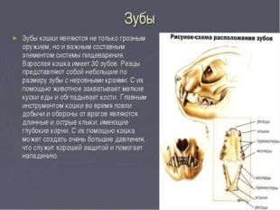 Зубы Зубы кошки являются не только грозным оружием, но и важным составным эле