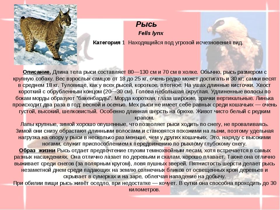Описание. Длина тела рыси составляет 80—130см и 70см в холке. Обычно, рысь...