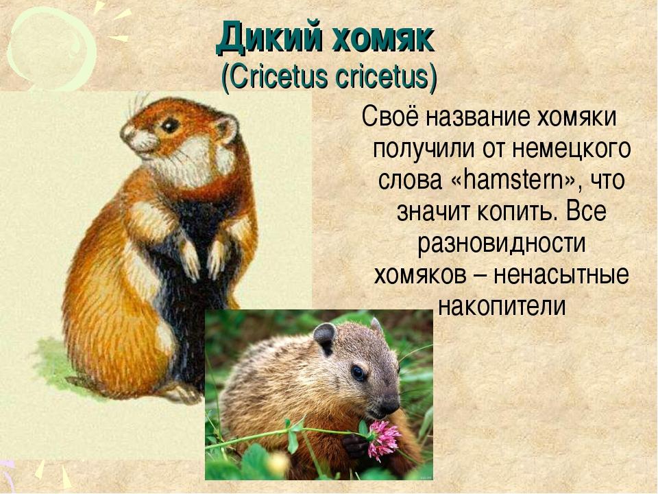 Дикий хомяк (Cricetus cricetus) Своё название хомяки получили от немецкого сл...