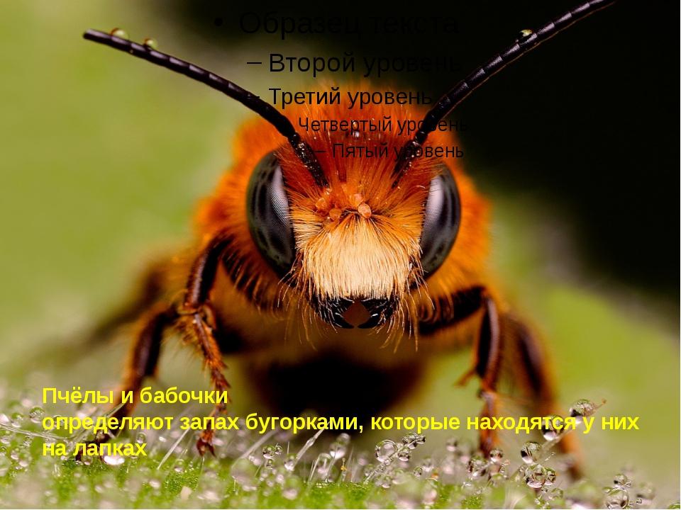 Пчёлы и бабочки определяют запах бугорками, которые находятся у них на лапках