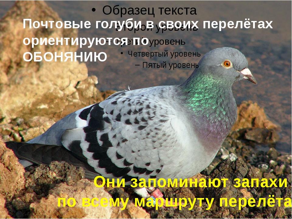 Почтовые голуби в своих перелётах ориентируются по ОБОНЯНИЮ Они запоминают за...