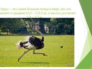 Страус – это самая большая птица в мире, вес его составляет в среднем 63,5 –