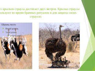 Размах крыльев страуса достигает двух метров. Крылья страусы используют во вр
