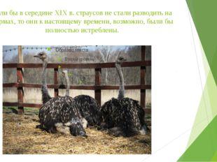 Если бы в середине XIX в. страусов не стали разводить на фермах, то они к нас