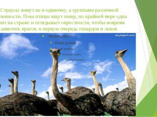 Страусы живут не в одиночку, а группами различной численности. Пока птицы ищу