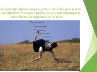 Страусы могут развивать скорость до 60 – 70 км/ч и делая шаги в 3,5-4 м ширин