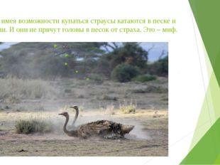 Не имея возможности купаться страусы катаются в песке и пыли. И они не прячут