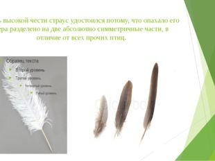 Столь высокой чести страус удостоился потому, что опахало его пера разделено