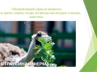 Обычной пищей страусов являются: побеги, цветы, семена, плоды, но иногда они