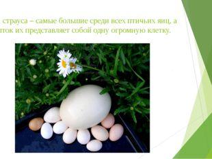 Яйца страуса – самые большие среди всех птичьих яиц, а желток их представляет