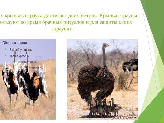 Размах крыльев страуса достигает двух метров. Крылья страусы используют во вр...