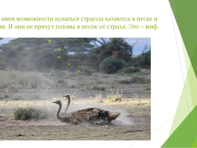 Не имея возможности купаться страусы катаются в песке и пыли. И они не прячут...