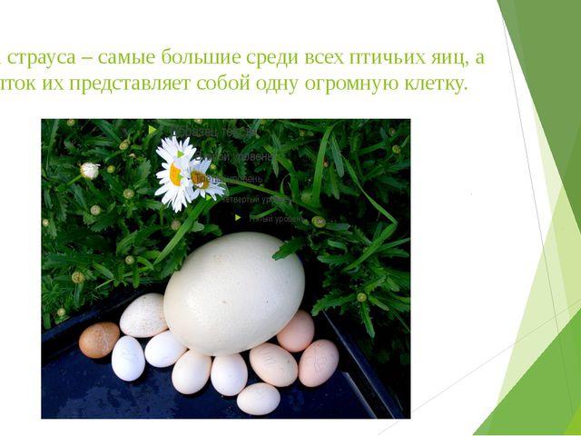 Яйца страуса – самые большие среди всех птичьих яиц, а желток их представляет...