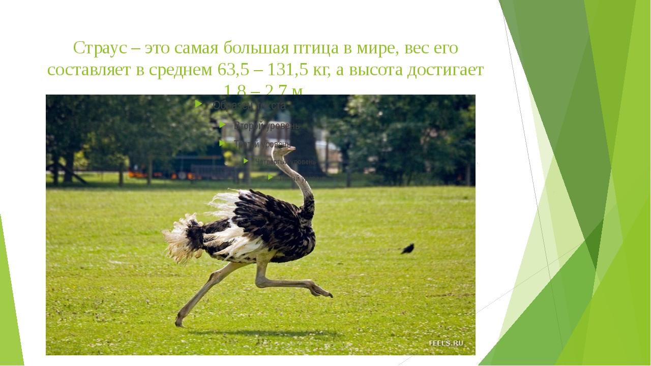 Страус – это самая большая птица в мире, вес его составляет в среднем 63,5 –...