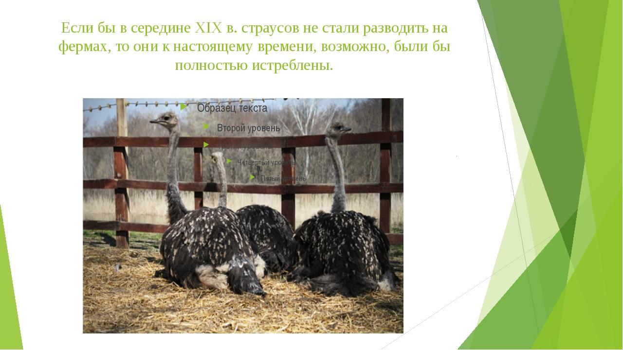 Если бы в середине XIX в. страусов не стали разводить на фермах, то они к нас...