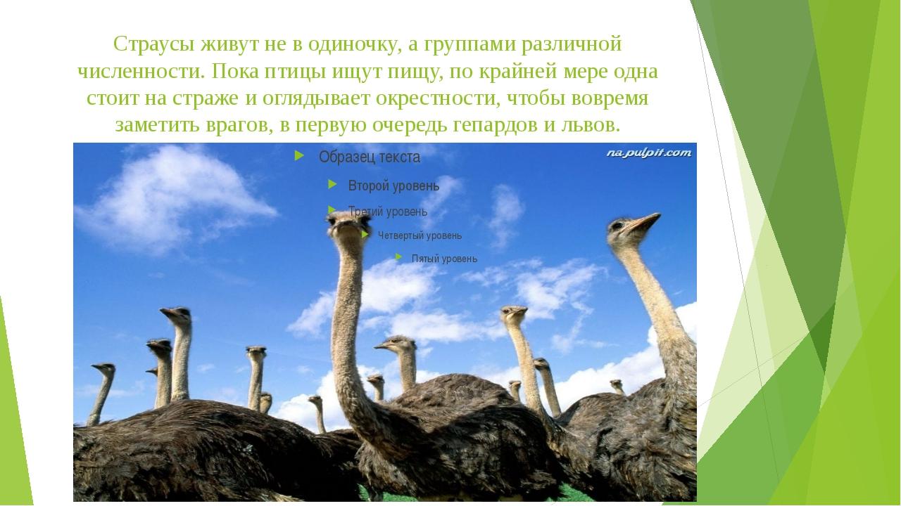 Страусы живут не в одиночку, а группами различной численности. Пока птицы ищу...