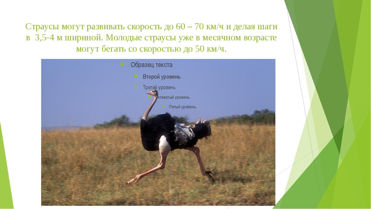 Страусы могут развивать скорость до 60 – 70 км/ч и делая шаги в 3,5-4 м ширин...
