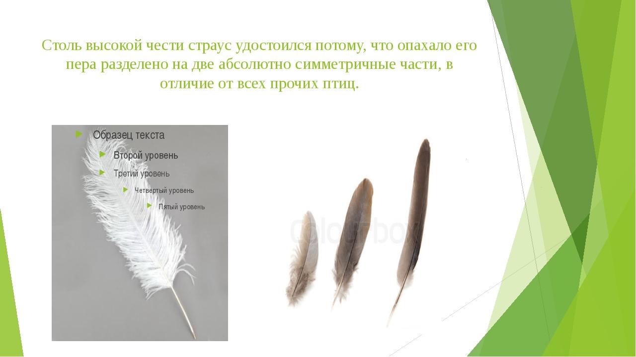 Столь высокой чести страус удостоился потому, что опахало его пера разделено...