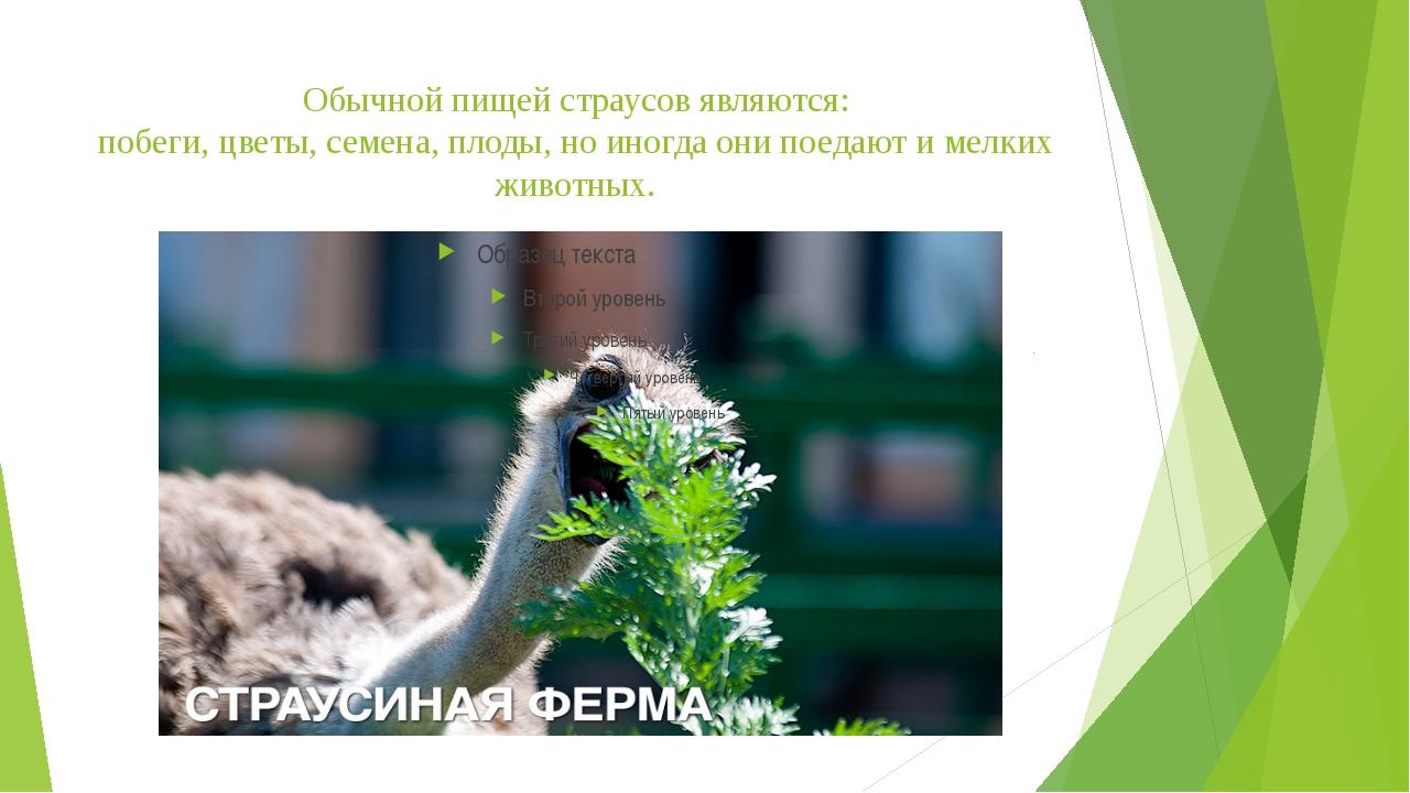 Обычной пищей страусов являются: побеги, цветы, семена, плоды, но иногда они...