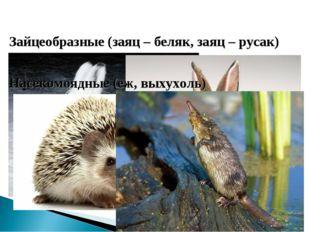 Зайцеобразные (заяц – беляк, заяц – русак) Насекомоядные (еж, выхухоль)