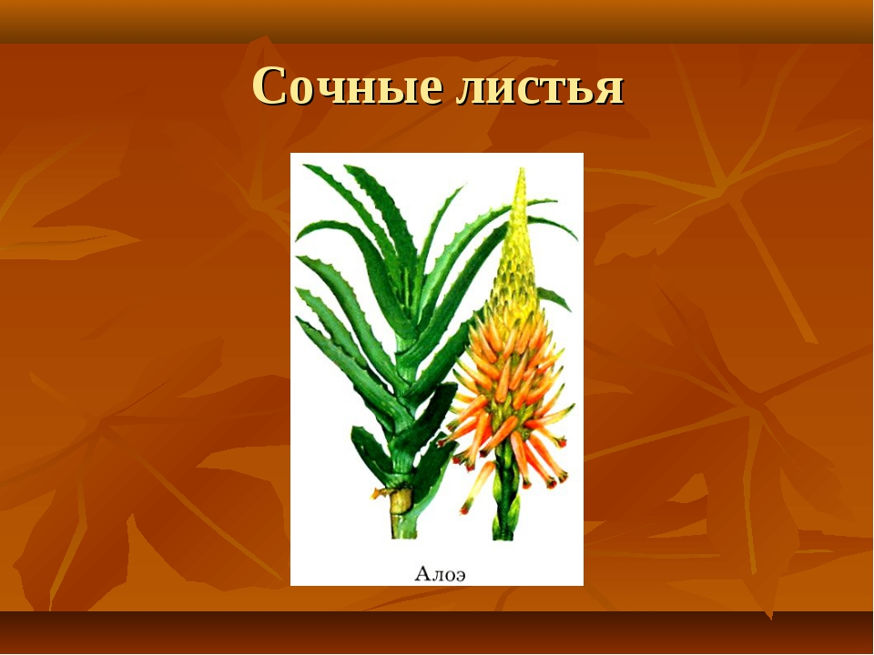 Сочные листья