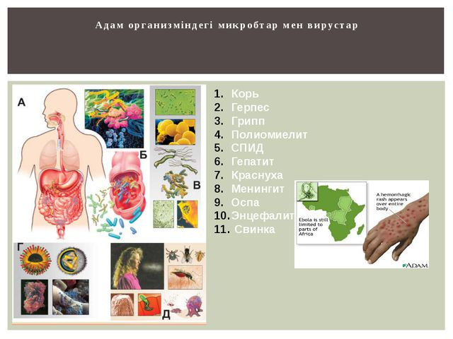 Адам организміндегі микробтар мен вирустар Корь Герпес Грипп Полиомиелит СПИД...