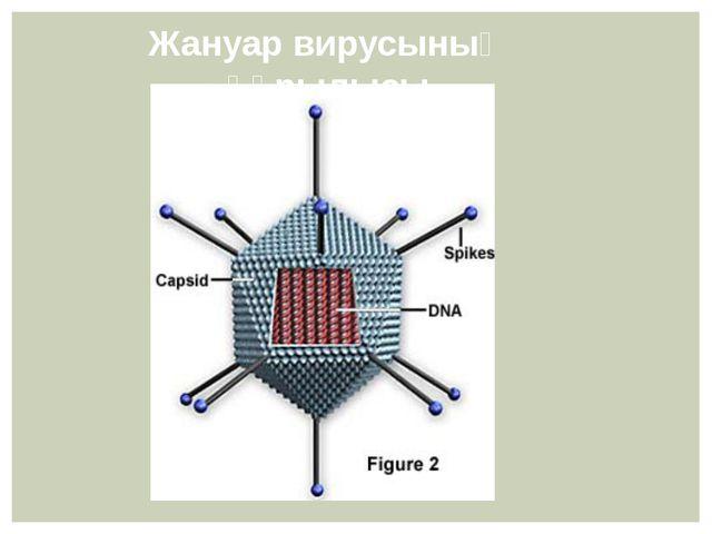 Жануар вирусының құрылысы