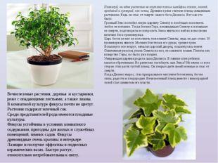Вечнозеленые растения, деревья и кустарники, реже с опадающими листьями, а т