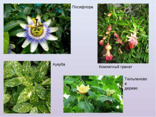 Посифлора Аукуба Комнатный гранат Тюльпановое дерево
