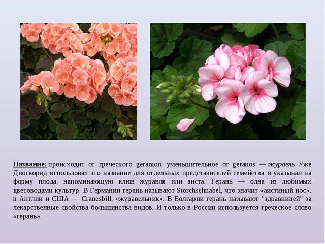 Название:происходит от греческого geranion, уменьшительное от geranos —жура...