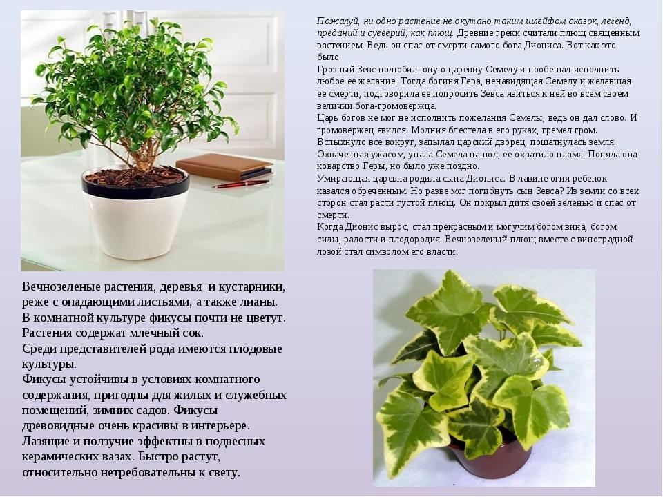Вечнозеленые растения, деревья и кустарники, реже с опадающими листьями, а т...