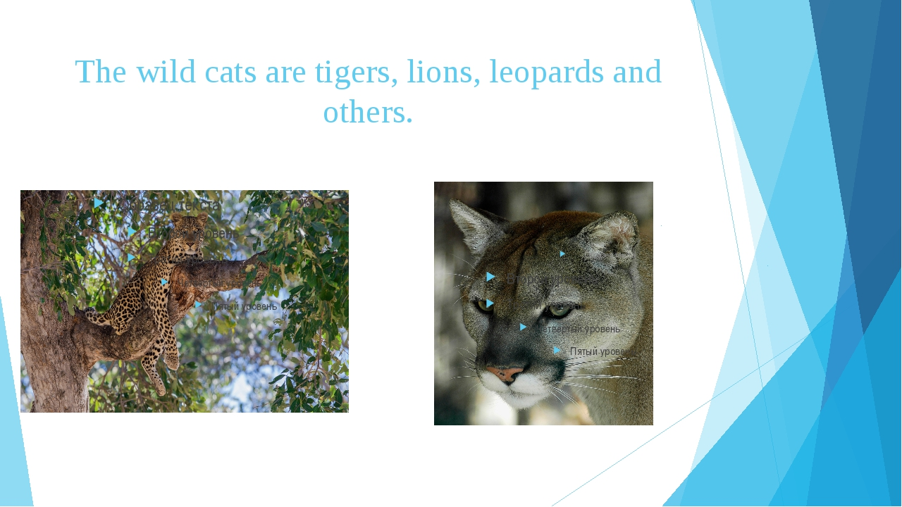 The wild cats are tigers, lions, leopards and others.