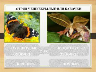 Сравните усики бабочек булавоусые бабочки перистоусые бабочки дневные ночные