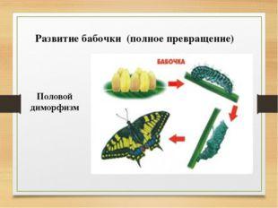 Развитие бабочки (полное превращение) ♀ ♂ Половой диморфизм
