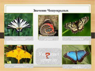 Украшают природу парусник зеринтия агриас морфо камета Значение Чешуекрылых В