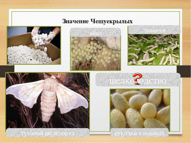 шелководство парусник яйца личинки тутовый шелкопряд куколки в коканах Значен...