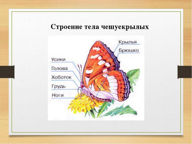 Строение тела чешуекрылых