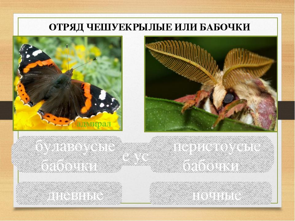 Сравните усики бабочек булавоусые бабочки перистоусые бабочки дневные ночные...