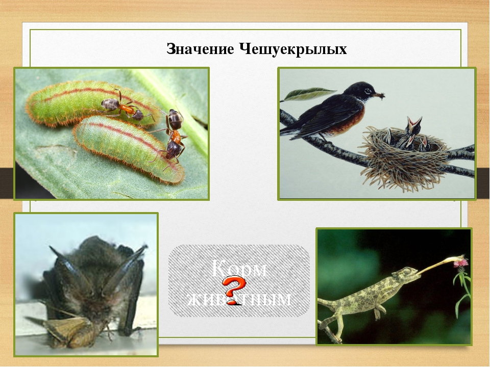 Корм животным Значение Чешуекрылых Видеофильм о гусенице.