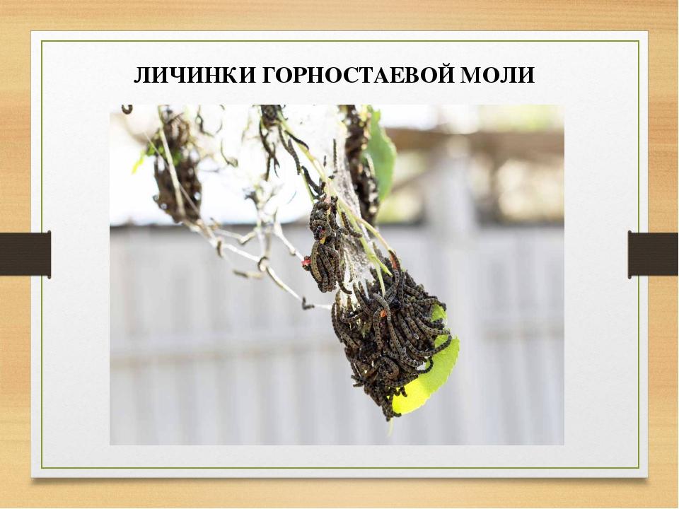 ЛИЧИНКИ ГОРНОСТАЕВОЙ МОЛИ