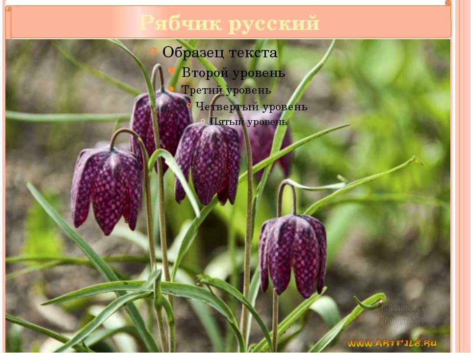 Рябчик русский Текст надписи