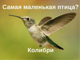 Самая маленькая птица? Колибри