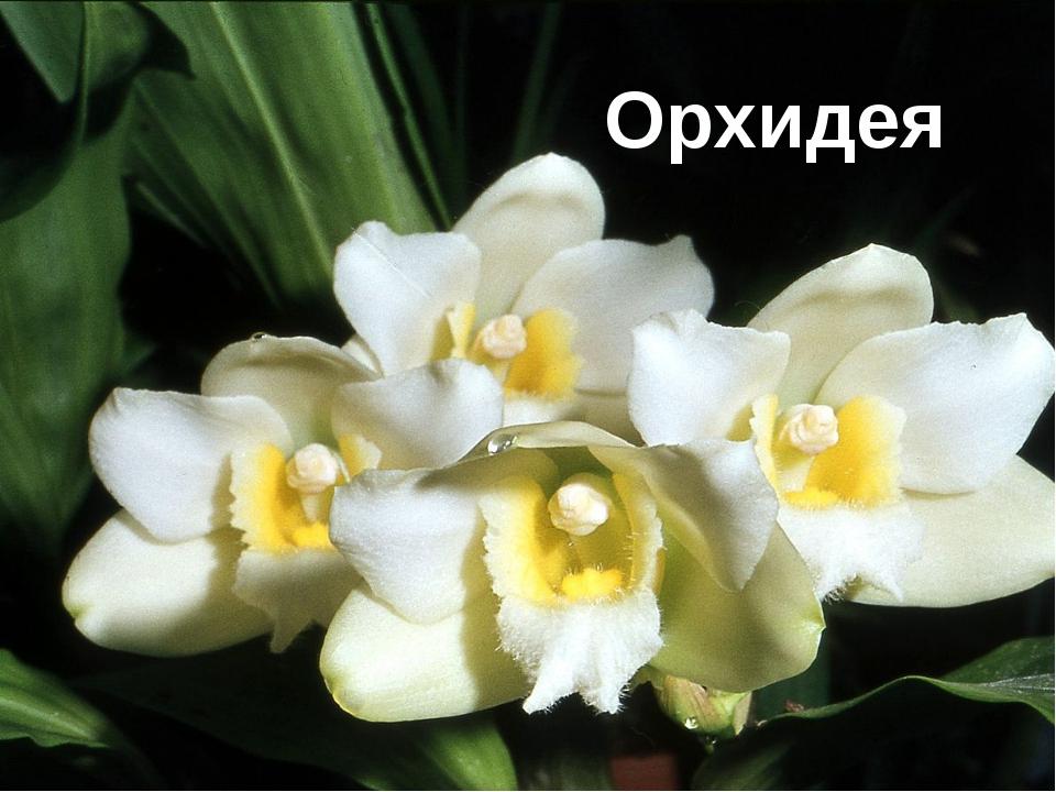 Анаконда Тапир Орхидея
