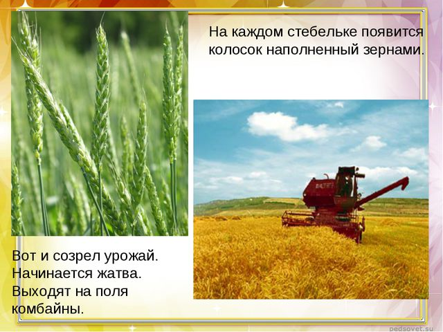 На каждом стебельке появится колосок наполненный зернами. Вот и созрел урожай...