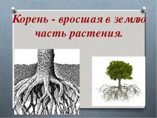 Корень - вросшая в землю часть растения.