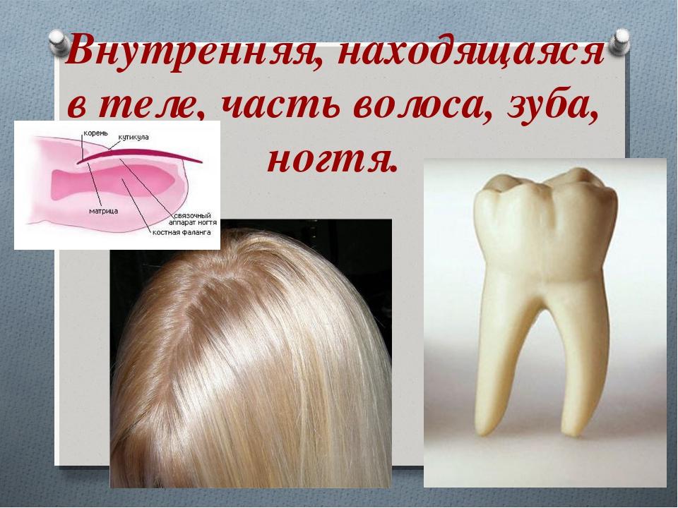 Внутренняя, находящаяся втеле, часть волоса, зуба, ногтя.