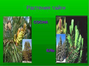 Растения тайги СОСНА ЕЛЬ
