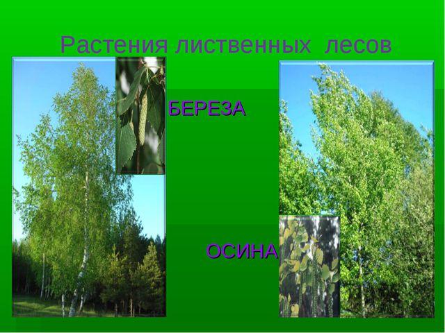 Растения лиственных лесов БЕРЕЗА ОСИНА