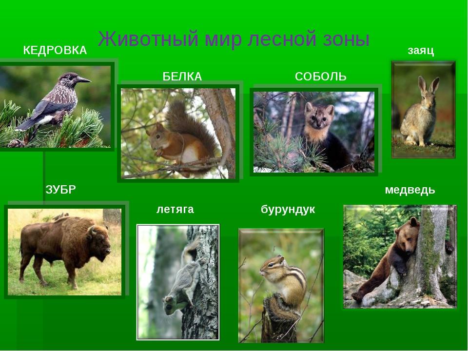 Животный мир лесной зоны